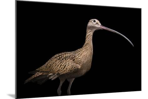 A Female Long Billed Curlew, Numenius Americanus, at the Tracy Aviary.-Joel Sartore-Mounted Photographic Print