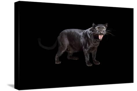 A Black Phase African Leopard, Panthera Pardus Pardus, at the Alabama Gulf Coast Zoo.-Joel Sartore-Stretched Canvas Print