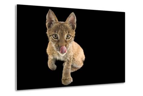 An Eurasian Lynx, Lynx Lynx, Who Is 4 1/2 Months Old, at Alabama Gulf Coast Zoo.-Joel Sartore-Metal Print