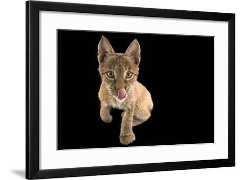 An Eurasian Lynx, Lynx Lynx, Who Is 4 1/2 Months Old, at Alabama Gulf Coast Zoo.-Joel Sartore-Framed Art Print