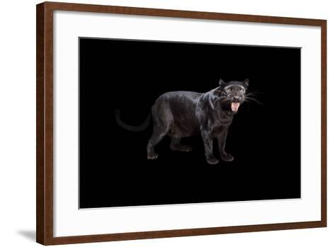 A Black Phase African Leopard, Panthera Pardus Pardus, at the Alabama Gulf Coast Zoo.-Joel Sartore-Framed Art Print
