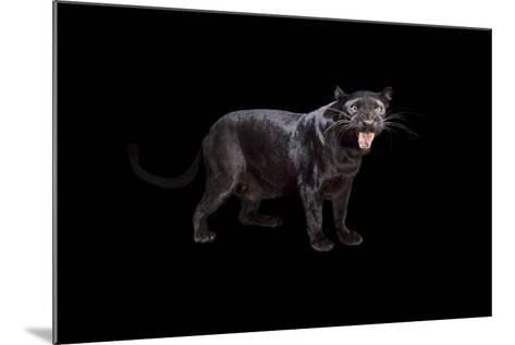 A Black Phase African Leopard, Panthera Pardus Pardus, at the Alabama Gulf Coast Zoo.-Joel Sartore-Mounted Photographic Print