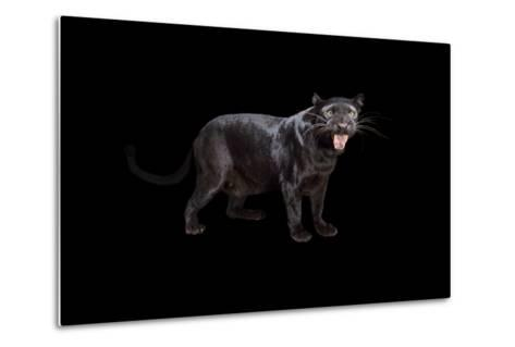 A Black Phase African Leopard, Panthera Pardus Pardus, at the Alabama Gulf Coast Zoo.-Joel Sartore-Metal Print