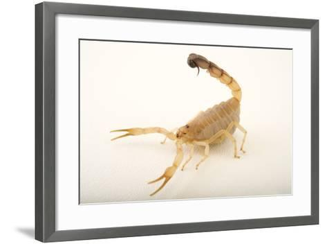 A Yellow Fattail Scorpion, Androctonus Australis, at the Houston Zoo.-Joel Sartore-Framed Art Print