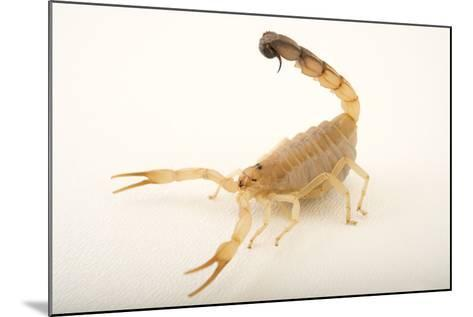 A Yellow Fattail Scorpion, Androctonus Australis, at the Houston Zoo.-Joel Sartore-Mounted Photographic Print