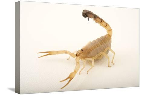 A Yellow Fattail Scorpion, Androctonus Australis, at the Houston Zoo.-Joel Sartore-Stretched Canvas Print