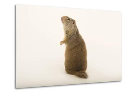 An Uinta Ground Squirrel, Urocitellus Armatus.-Joel Sartore-Metal Print