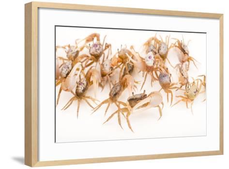 Sand Fiddler Crabs, Uca Pugilator, at Gulf Specimen Marine Lab and Aquarium.-Joel Sartore-Framed Art Print