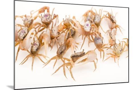 Sand Fiddler Crabs, Uca Pugilator, at Gulf Specimen Marine Lab and Aquarium.-Joel Sartore-Mounted Photographic Print
