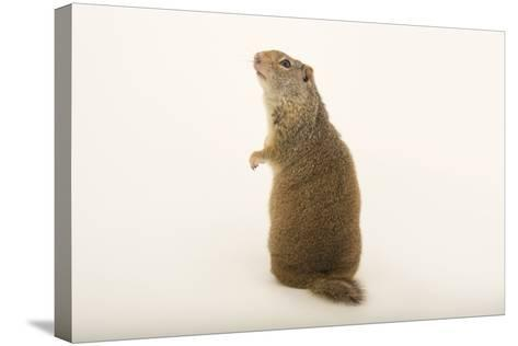 An Uinta Ground Squirrel, Urocitellus Armatus.-Joel Sartore-Stretched Canvas Print