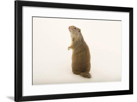 An Uinta Ground Squirrel, Urocitellus Armatus.-Joel Sartore-Framed Art Print