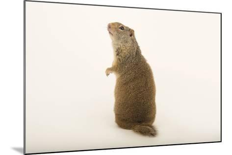 An Uinta Ground Squirrel, Urocitellus Armatus.-Joel Sartore-Mounted Photographic Print