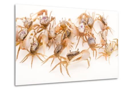 Sand Fiddler Crabs, Uca Pugilator, at Gulf Specimen Marine Lab and Aquarium.-Joel Sartore-Metal Print