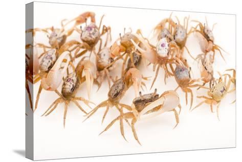 Sand Fiddler Crabs, Uca Pugilator, at Gulf Specimen Marine Lab and Aquarium.-Joel Sartore-Stretched Canvas Print