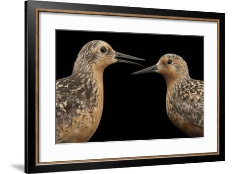 Red Knots, Calidris Canutus, a Species in Rapid Population Decline.-Joel Sartore-Framed Art Print