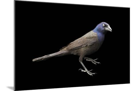 A Common Grackle, Quiscalus Quiscula.-Joel Sartore-Mounted Photographic Print