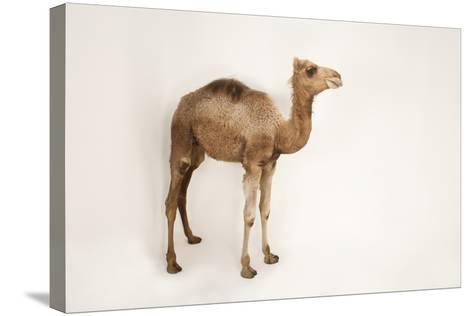 A Dromedary Camel, Camelus Dromedarius, at the Gladys Porter Zoo.-Joel Sartore-Stretched Canvas Print