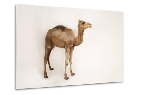 A Dromedary Camel, Camelus Dromedarius, at the Gladys Porter Zoo.-Joel Sartore-Metal Print