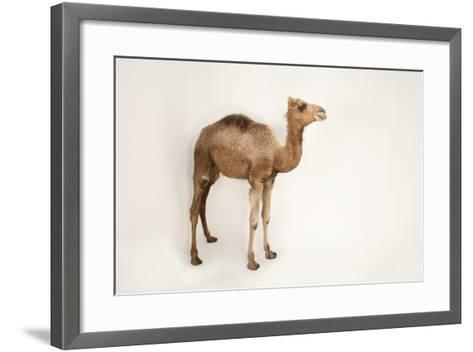 A Dromedary Camel, Camelus Dromedarius, at the Gladys Porter Zoo.-Joel Sartore-Framed Art Print