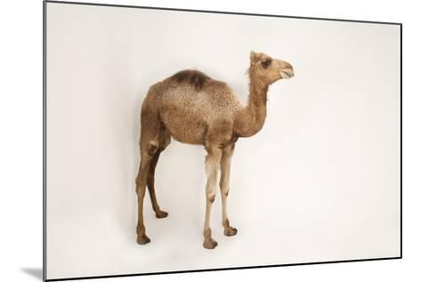 A Dromedary Camel, Camelus Dromedarius, at the Gladys Porter Zoo.-Joel Sartore-Mounted Photographic Print