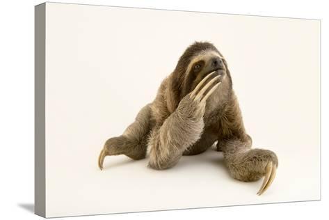 A Brown Throated Three Toed Sloth, Bradypus Variegatus.-Joel Sartore-Stretched Canvas Print