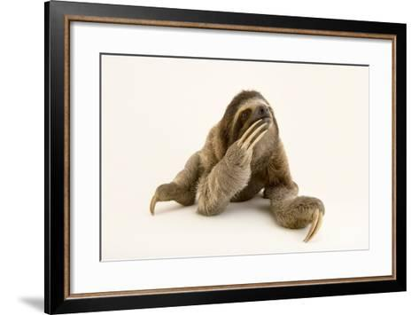 A Brown Throated Three Toed Sloth, Bradypus Variegatus.-Joel Sartore-Framed Art Print