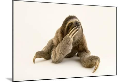 A Brown Throated Three Toed Sloth, Bradypus Variegatus.-Joel Sartore-Mounted Photographic Print