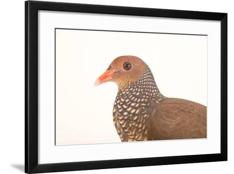 A Scaled Pigeon, Columba Speciosa, at the Nispero Zoo.-Joel Sartore-Framed Art Print