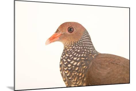 A Scaled Pigeon, Columba Speciosa, at the Nispero Zoo.-Joel Sartore-Mounted Photographic Print