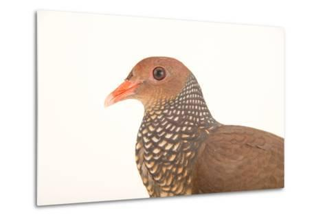 A Scaled Pigeon, Columba Speciosa, at the Nispero Zoo.-Joel Sartore-Metal Print