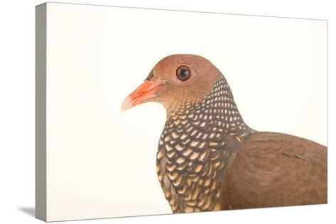 A Scaled Pigeon, Columba Speciosa, at the Nispero Zoo.-Joel Sartore-Stretched Canvas Print
