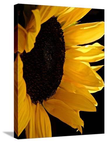 Sunlit Sunflowers II-Monika Burkhart-Stretched Canvas Print