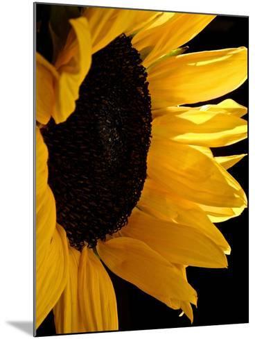Sunlit Sunflowers II-Monika Burkhart-Mounted Photographic Print