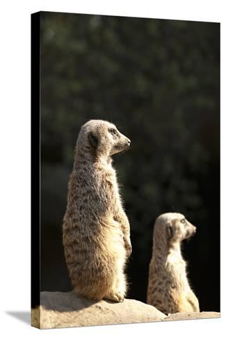 Meerkats-Karyn Millet-Stretched Canvas Print