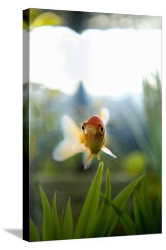 Goldfish I-Karyn Millet-Stretched Canvas Print