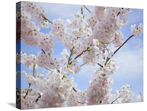 Spring Blossoms-George Johnson-Stretched Canvas Print