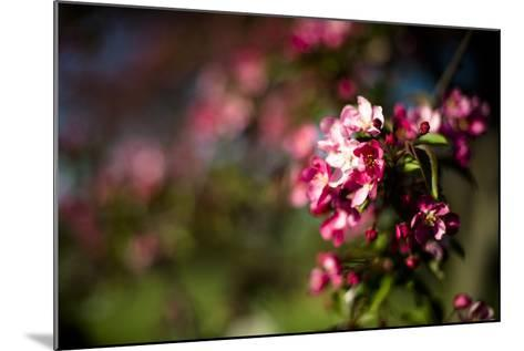 Crabapple Blooms-Beth Wold-Mounted Photographic Print