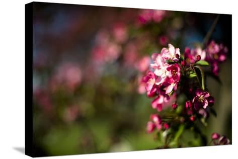 Crabapple Blooms-Beth Wold-Stretched Canvas Print