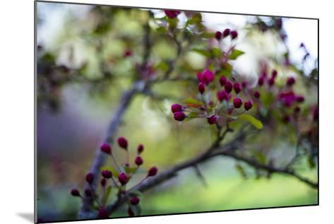 Crabapple Buds-Beth Wold-Mounted Photographic Print