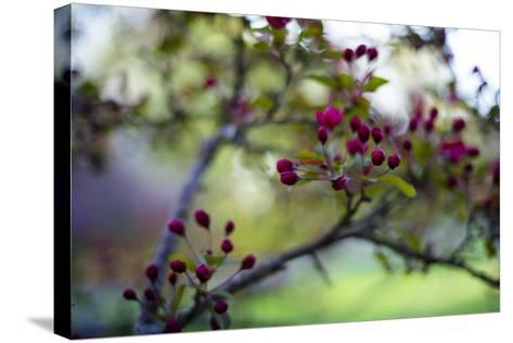 Crabapple Buds-Beth Wold-Stretched Canvas Print