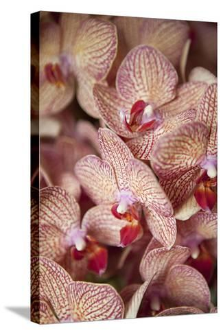 Orchid I-Karyn Millet-Stretched Canvas Print