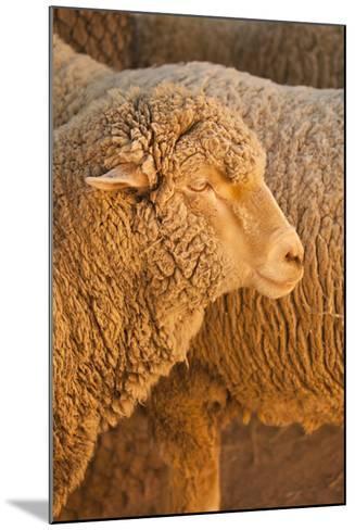 Sheep-Karyn Millet-Mounted Photographic Print