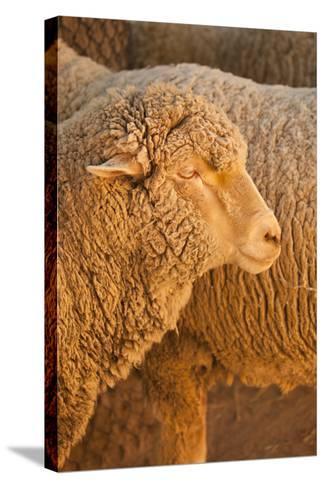Sheep-Karyn Millet-Stretched Canvas Print