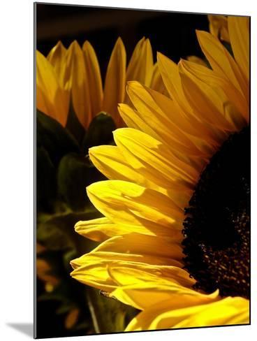 Sunlit Sunflowers I-Monika Burkhart-Mounted Photographic Print