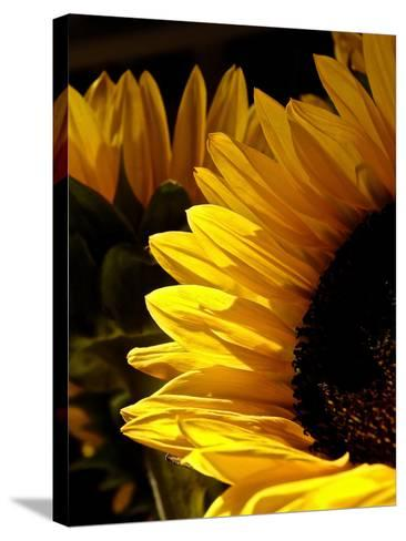 Sunlit Sunflowers I-Monika Burkhart-Stretched Canvas Print