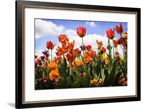 Tulip Parade I-Alan Hausenflock-Framed Art Print