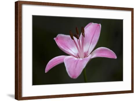 Pink Lily II-Rita Crane-Framed Art Print