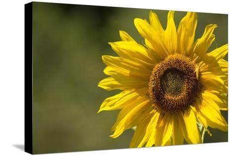 Sunflower and Bee II-Rita Crane-Stretched Canvas Print
