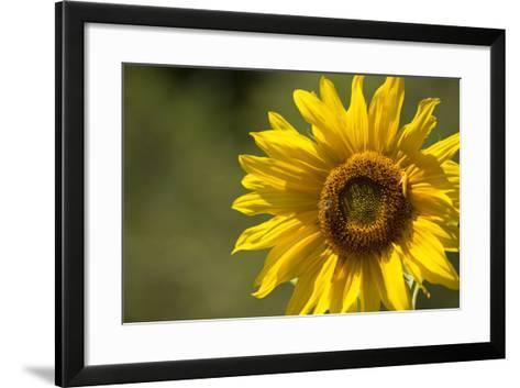 Sunflower and Bee II-Rita Crane-Framed Art Print