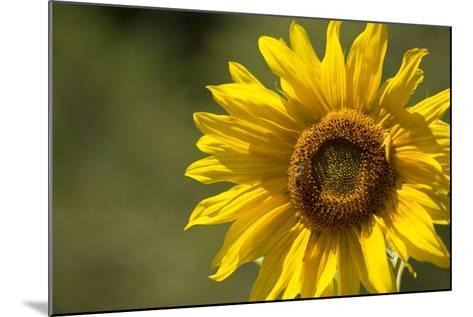 Sunflower and Bee II-Rita Crane-Mounted Photographic Print